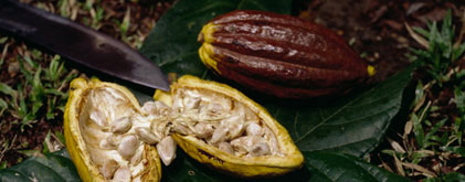 cacao pods cut open